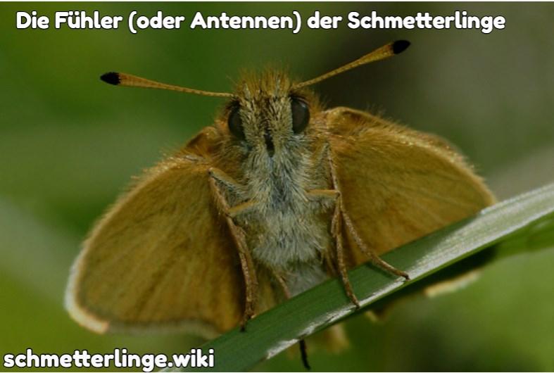 Die Fühler (oder Antennen) der Schmetterlinge