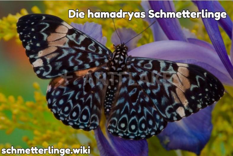 Die Hamadryas Schmetterlinge