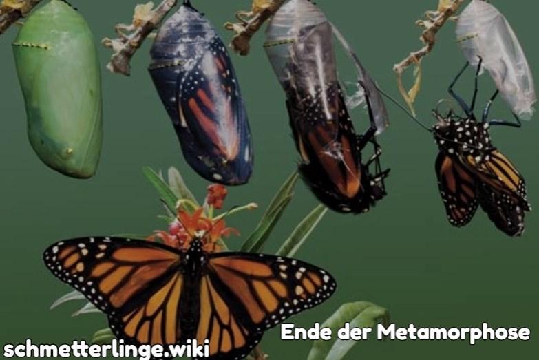 Ende der Metamorphose