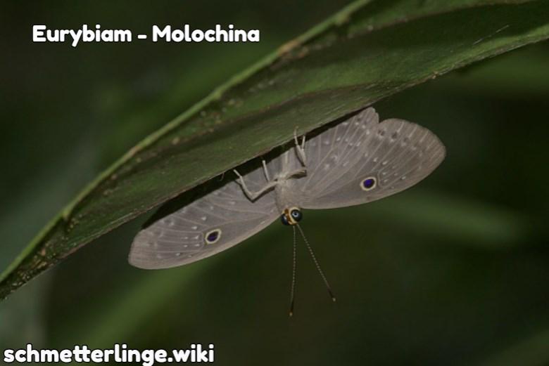Eurybiam molochina