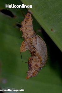 Heliconiinae