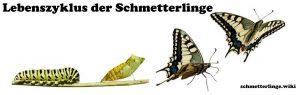 Lebenszyklus der Schmetterlinge