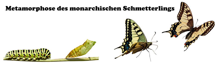 Metamorphose des monarchischen Schmetterlings