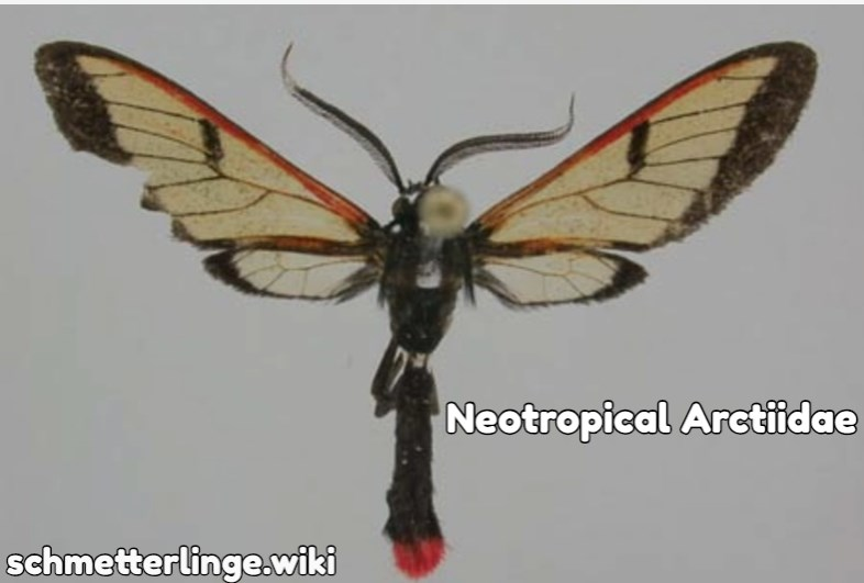 Neotropical Arctiidae