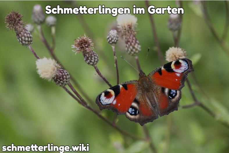 Schmetterlingen im Garten