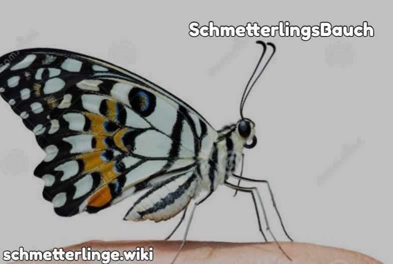 SchmetterlingsBauch
