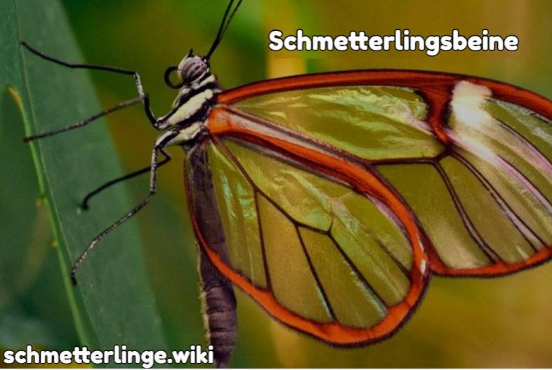 Schmetterlingsbeine