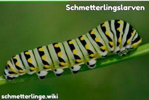 Schmetterlingslarven