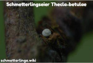 Thecla-betulae