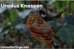 Urodus Knospen